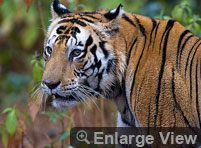 Tiger Trail Tour Package